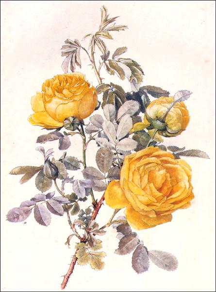 Botanical Illustration - Alfred Parsons