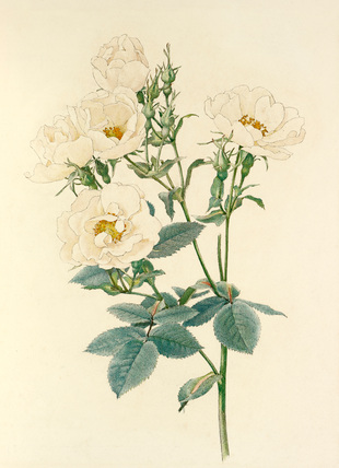 Rosa alba - Alfred Parsons