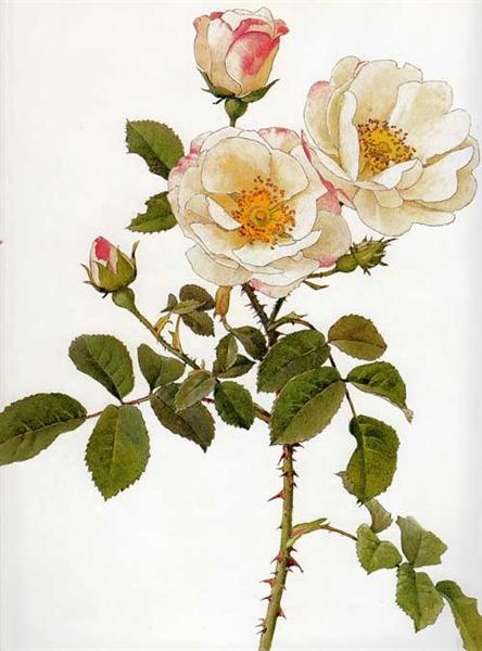 Rosa damascena rubrotincta - Alfred Parsons