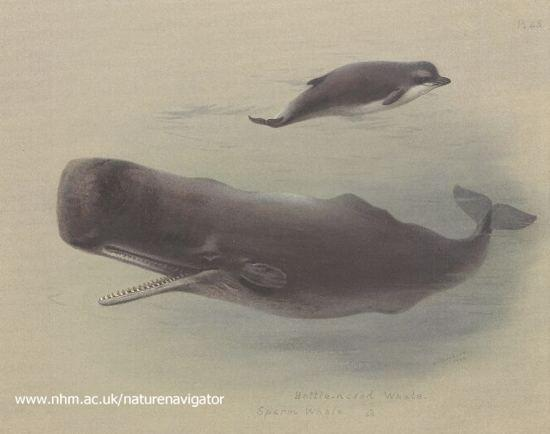 Sperm whale and Bottlenose whale, 1935 - Archibald Thorburn