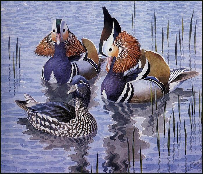 Mandarin Ducks - Charles Tunnicliffe