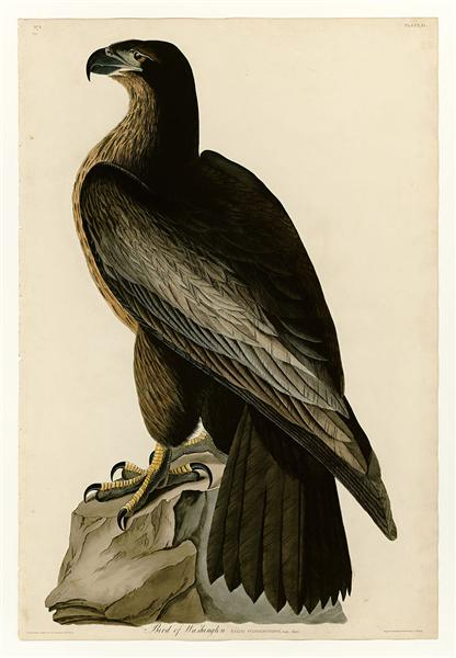 Plate 11. Bird of Washington - John James Audubon