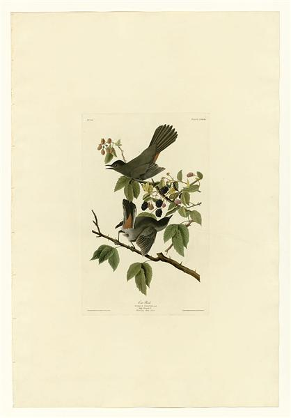 Plate 128 Cat Bird - John James Audubon