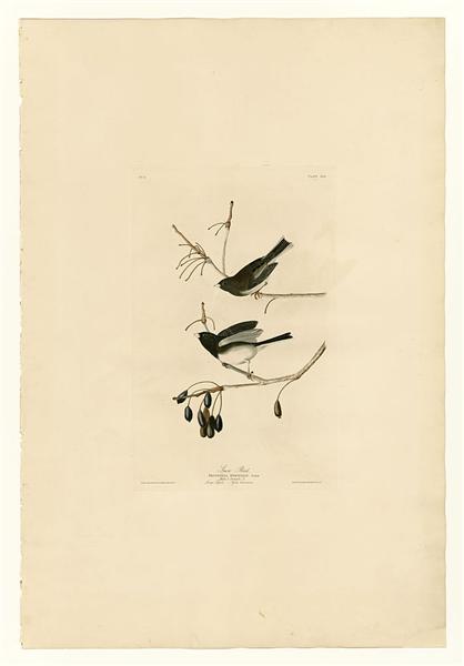 Plate 13. Snow Bird - John James Audubon