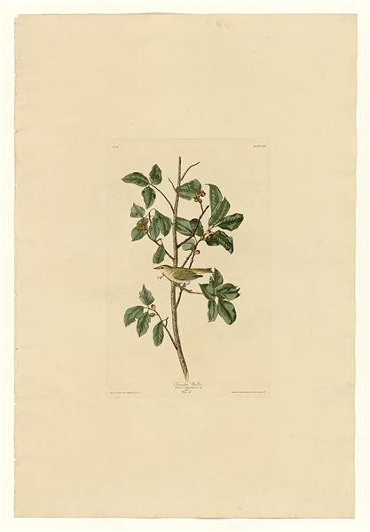 Plate 154 Tennessee Warbler - John James Audubon