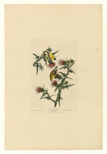 Plate 33. American Goldfinch - John James Audubon