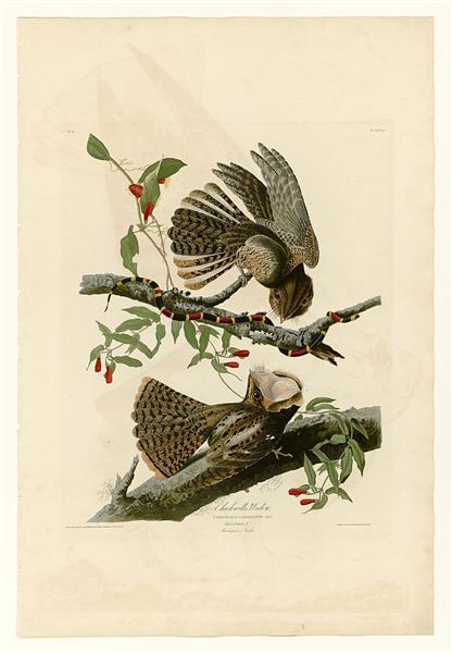 Plate 52. Chuck-will's Widow - John James Audubon
