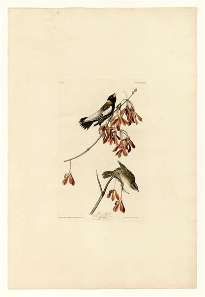 Plate 54. Rice Bird - John James Audubon
