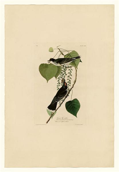Plate 79 Tyrant Fly-catcher - John James Audubon