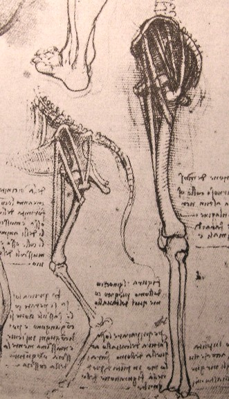 Drawing of the comparative anatomy of the legs of a man and a dog, 1500