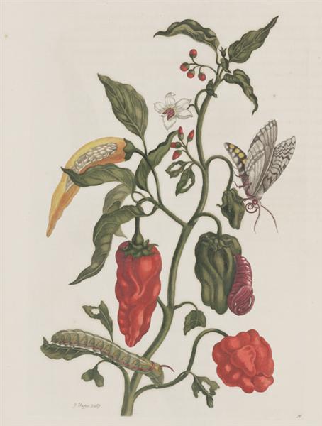 Metamorphosis insectorum Surinamensiam, 1705 - Maria Sibylla Merian