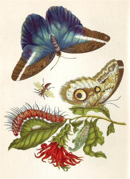 Metamorphosis insectorum Surinamensium, 1705 - Maria Sibylla Merian